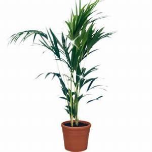 Palme Für Drinnen : zimmerpflanzen topfpflanzen blumen online bestellen bundesweit ~ Sanjose-hotels-ca.com Haus und Dekorationen