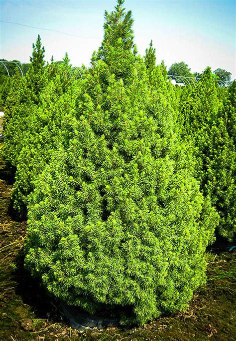 alberta spruce dwarf alberta spruce for sale online the tree center