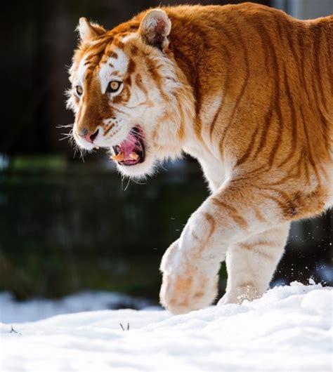 Golden Tabby Tiger Tumblr