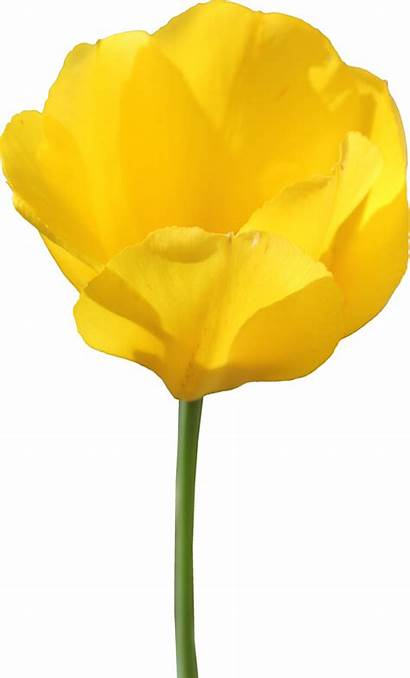 Tulip Yellow Transparent Flower Clipart Single Background