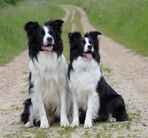 smartest breeds cleverest dogs in the world stanley coren phd assessment kellys kennels