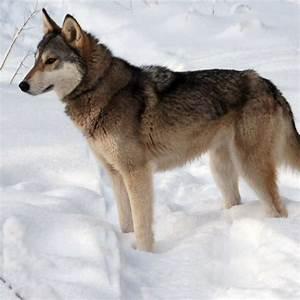 Tamaskan Dog Breed Guide - Learn about the Tamaskan Dog.