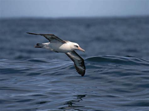 oregon pelagic birding pelagic trips and pelagic birds