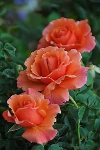 Langage Des Fleurs Pivoine : perfectly peach roses from the garden to the table recipes for life rosier fleur jardin ~ Melissatoandfro.com Idées de Décoration