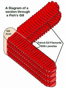 Gills 101  The Magic Of How Fish Breath