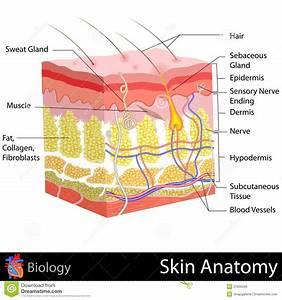 Skin Anatomy Stock Illustration  Illustration Of