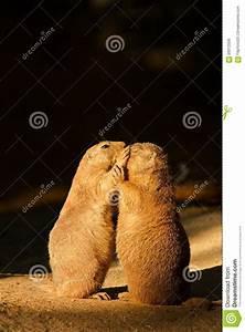 Black-tailed prairie dog stock photo. Image of checking ...