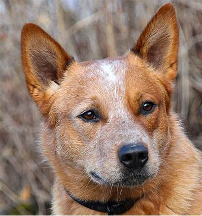 Dog Wikipedia Breeds Australian English Wiki Wikimedia