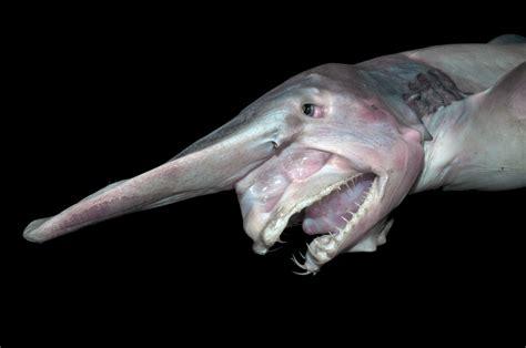 Deep Sea Goblin Shark