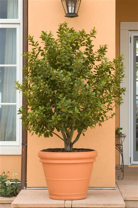 Sweetbay Nursery by Sweet Bay Laurus Nobilis Mediterranean Landscape By