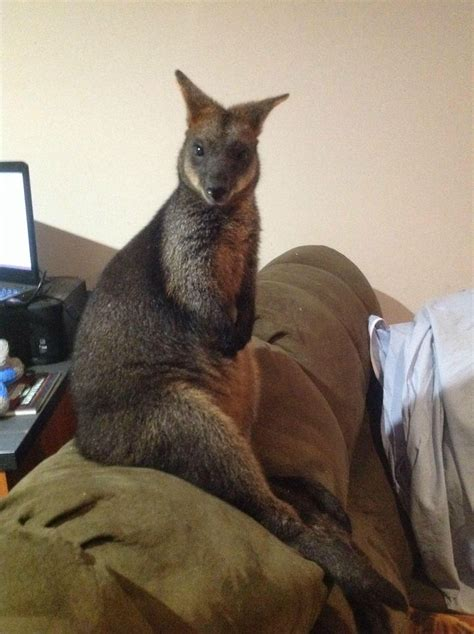 grateful wallaby mom brings son  visit  woman