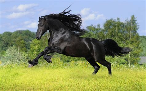 horses wild running hd wallpapers animals horse stallion friesian cavalos dark caballos pura sangre caballo animal ingles negro background most
