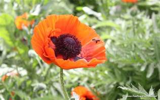 poppy flower picture poppy pictures poppy flower pictures