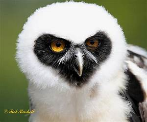 Birds and Nature in the Forest of Dean: Spectacled Owl (ICBP)