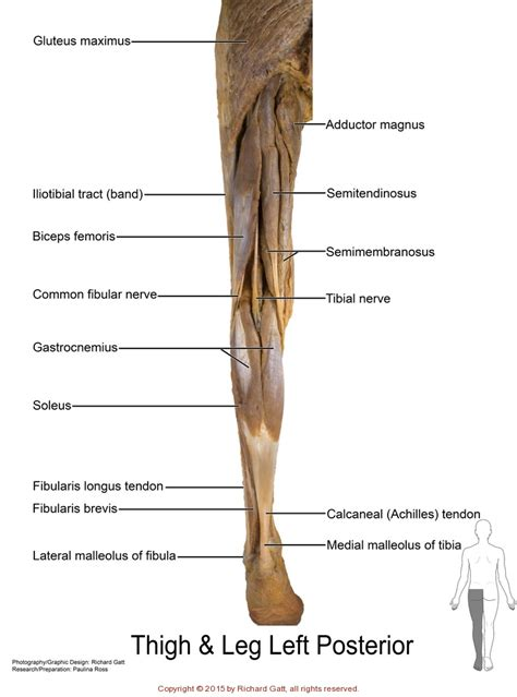 appendicular muscles slcc anatomy