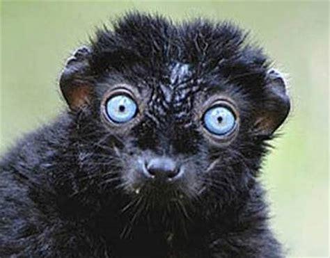 black lemur   blue eyed primate animal