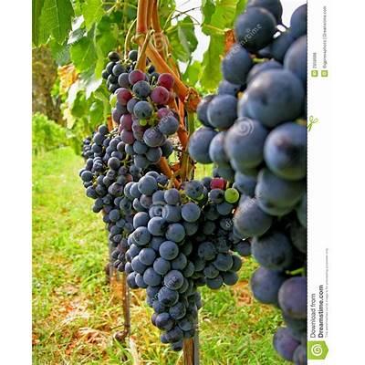 Autumn wine harvest Merlot stock photo. Image of