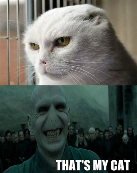 Voldemort Meme - voldemort cat www meme lol com fandoms are families pinterest not interested innocent