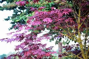Laubbaum Mit Roten Blättern : roter ahorn pflegen gie en d ngen schneiden und mehr ~ Frokenaadalensverden.com Haus und Dekorationen