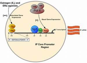 Transcriptional Regulation Of Human Prostacyclin Receptor Gene