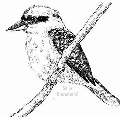 Kookaburra Colouring Birds Drawings Pen Australian Drawing