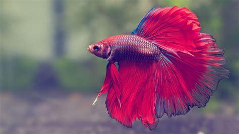 beta fish betta fish are amazing