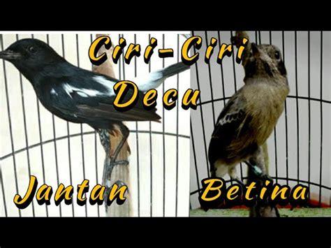 Decu kembang betina lirik & video klip mp4. Perbedaan Jantan/Betina Burung Decu Kembang : Tips Mengetahui Perbedaan Fisik Burung Decu ...