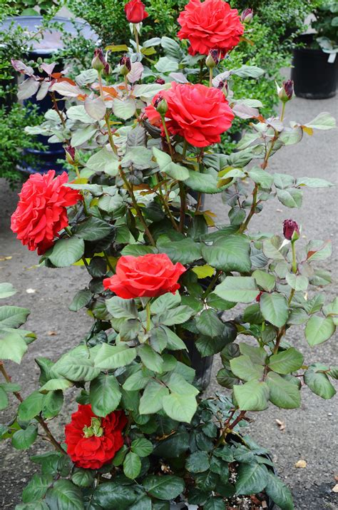 how to plant roses top 28 where to plant roses planting roses love your garden how to plant bare root roses