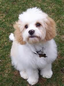 dog breeds under 20 pounds dog breeds