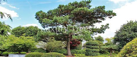 Japanischer Garten Nadelbaum by Nadelb 228 Ume 187 Luxurytrees 174 214 Sterreich
