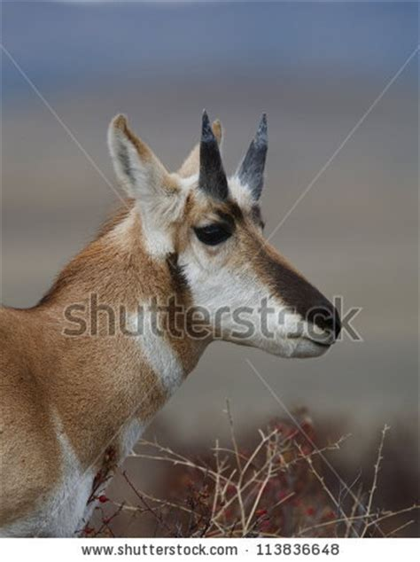 pronghorn sheds pronghorn antelope buck that has shed his horns revealing