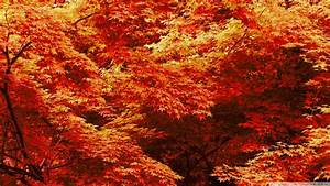 Download Japanese Maple Trees Autumn Wallpaper 1920x1080 ...
