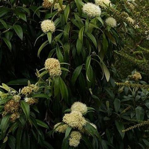 best tips to grow lemon myrtle tree in pots iota