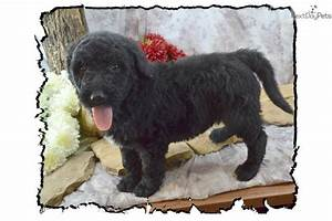 Shepadoodle puppy for sale near Southern Illinois ...