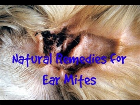 ear mites  cats  dogs natural solutions youtube