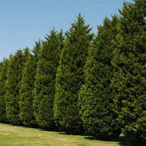 leyland cypress leyland cypress fast growing privacy screen hedge evergreen