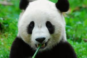 パンダ:パンダって意外と歯白いかも ...