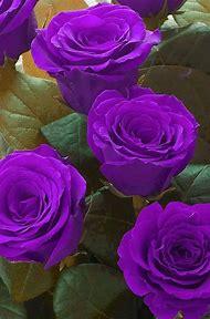 Pretty Purple Flowers Roses