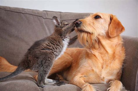 dog takes care  motherless baby wallaby