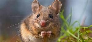 Comment Attraper Une Souris : comment attraper une souris ~ Dailycaller-alerts.com Idées de Décoration