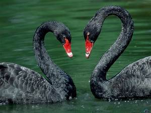 Wallpaper swan, bird, Black Swan.