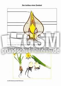 Aufbau Der Zwiebel : aufbau einer zwiebel pflanzen steckbriefe fr hling ~ Lizthompson.info Haus und Dekorationen