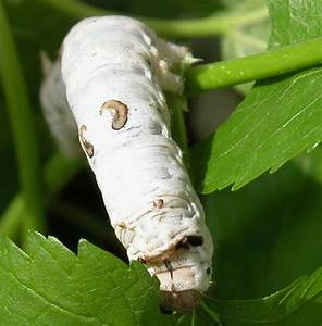 Silk 'micro... Silkworm