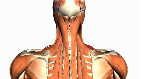 Deep Muscles Of The Back Intermediate And Deep Muscles Of The Back Anatomy