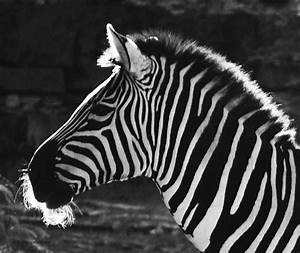 Zebra In Black And White Photograph by DiDi Higginbotham