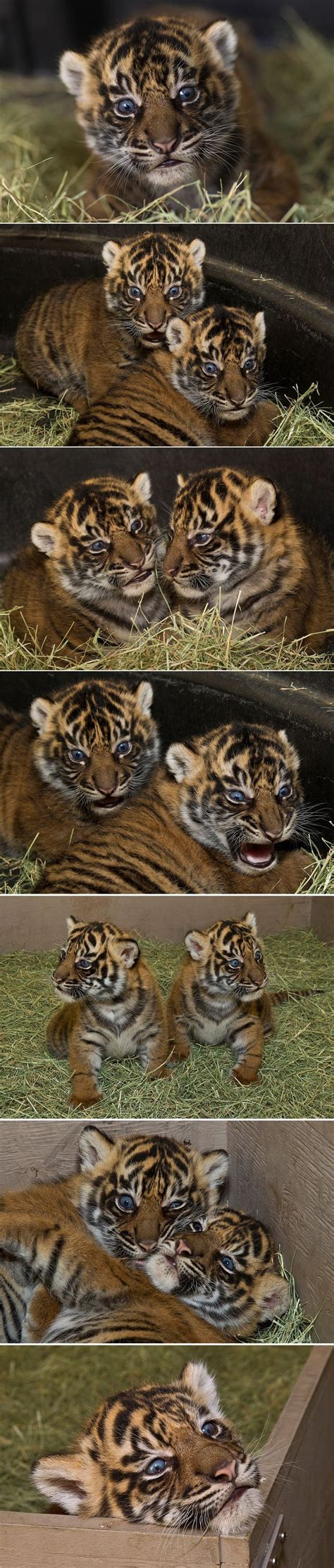 San Diego Tiger Trail Animals Beautiful