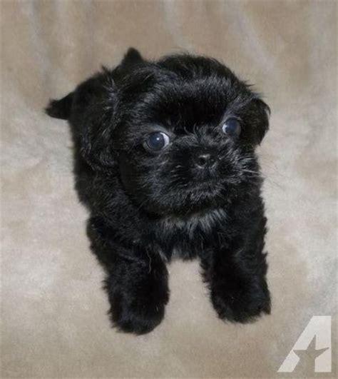 shih tzu chihuahua mix puppies females  sale