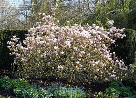 plantfiles pictures magnolia pinkie magnolia by growin