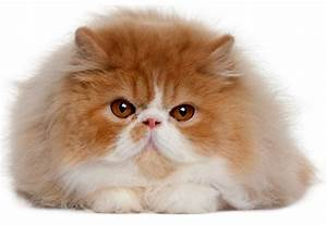 Ginger And White Persian Cat | www.pixshark.com - Images ...