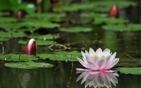 lotus flower water desktop wallpaper backgrounds